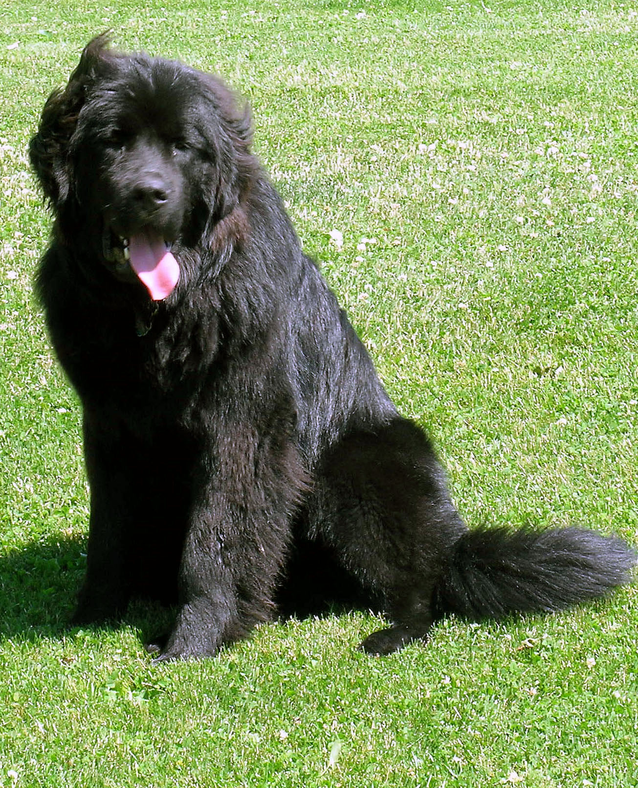 Newman, the family's Newfoundland