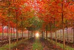 Norwegian & Pacific Sunset Maples (click for information about these varieties)