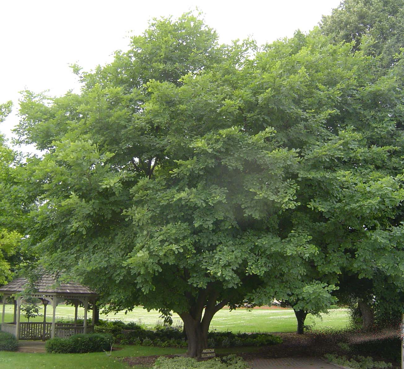 Mature American Yellowwood