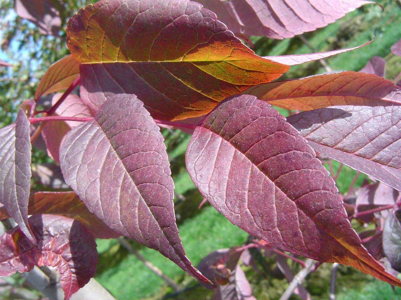 Autumn Purple Ash Leaf