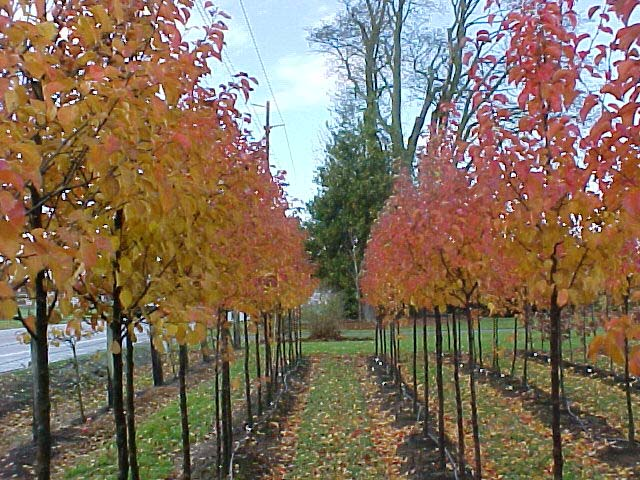 Cleveland Select Flowering Pear Fall Color