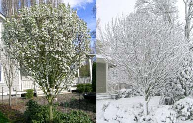 Jack Callery Pear Spring Flowers & Winter Snow