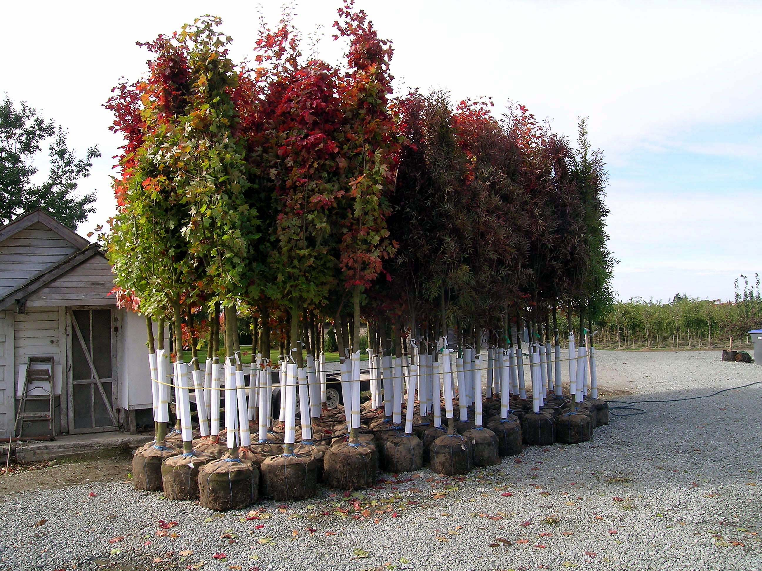 Group of Trees in Grow Bags - Urban Forest Nursery, Inc.