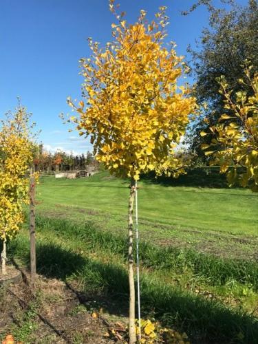 Autumn Gold Ginkgo